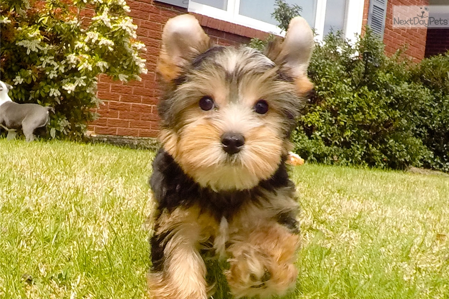 Yorkie Dogs For Sale Nyc