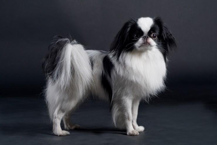 Toy Japan Dog Breeds Dog Breeds Dogthelove