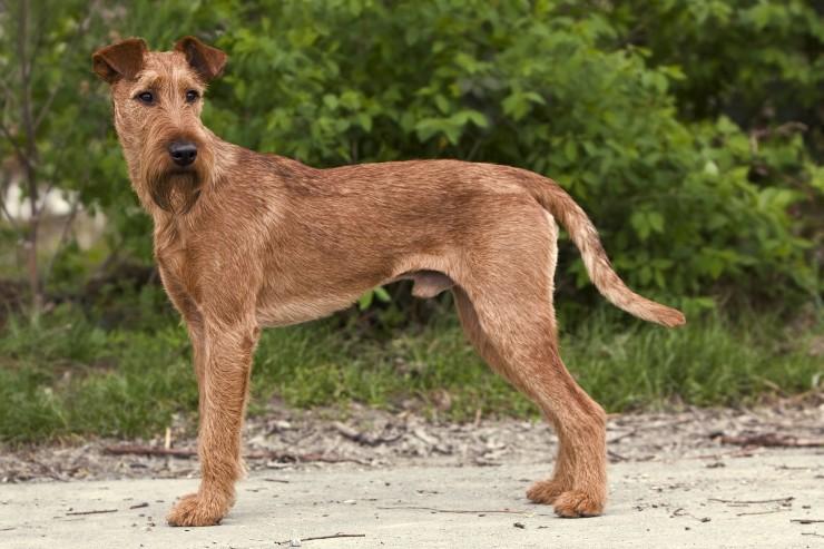 Irish Terrier Information Dog Breeds At Dogthelove