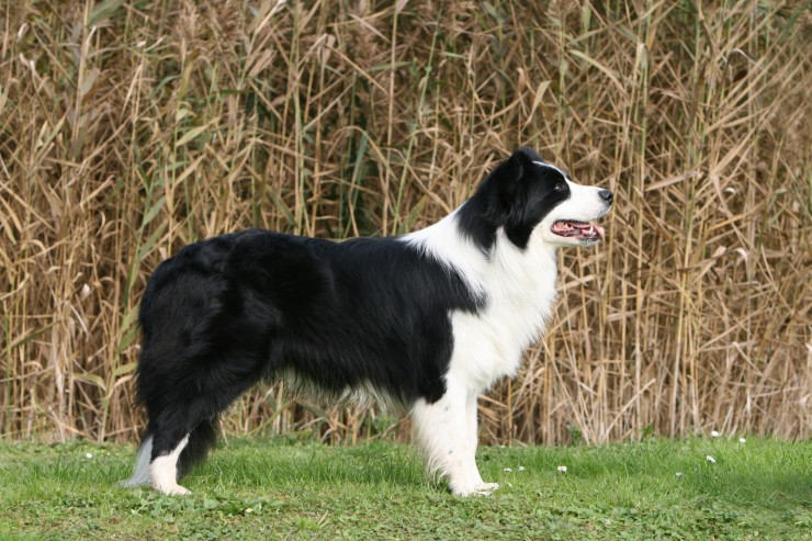 5 Year Male Labrador Cross Collie And German: Border Collie Information