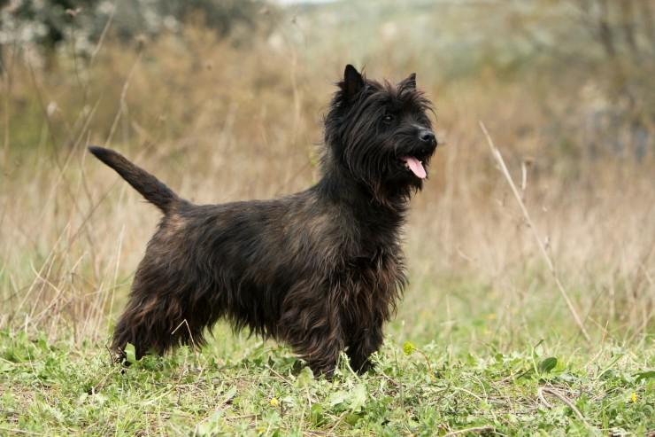 cairn terrier information dog breeds at dogthelove