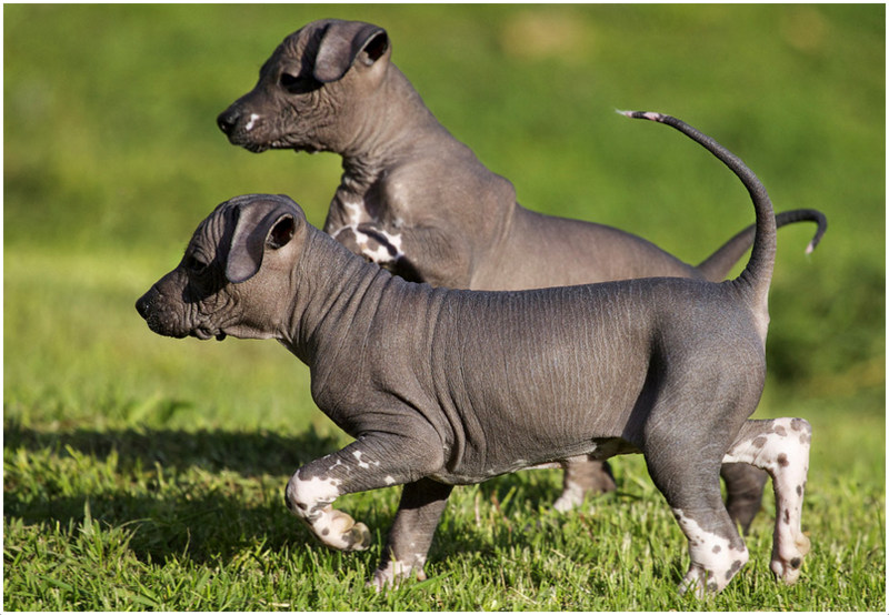 Mexican Hairless Dog Information Dog Breeds At Dogthelove
