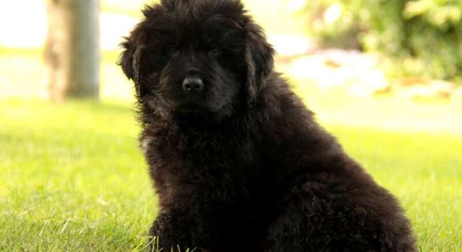 Newfoundland Dog For Sale In Pa