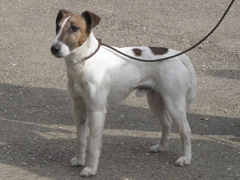 Smooth Fox Terrier Information Dog Breeds At Dogthelove