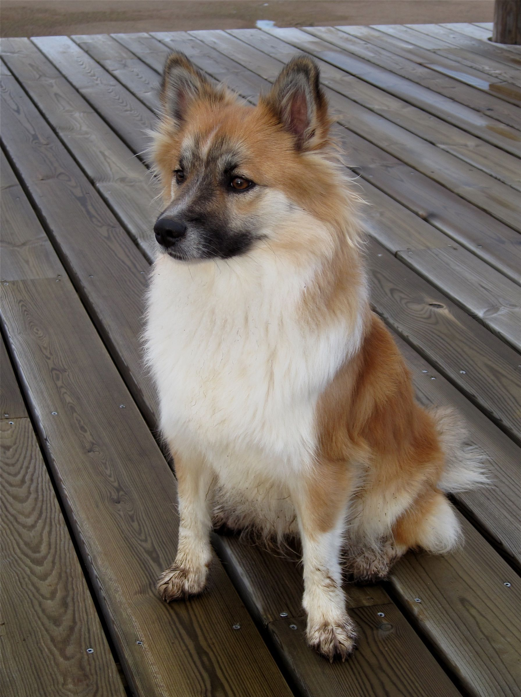 Icelandic Sheepdog Information Dog Breeds At Dogthelove