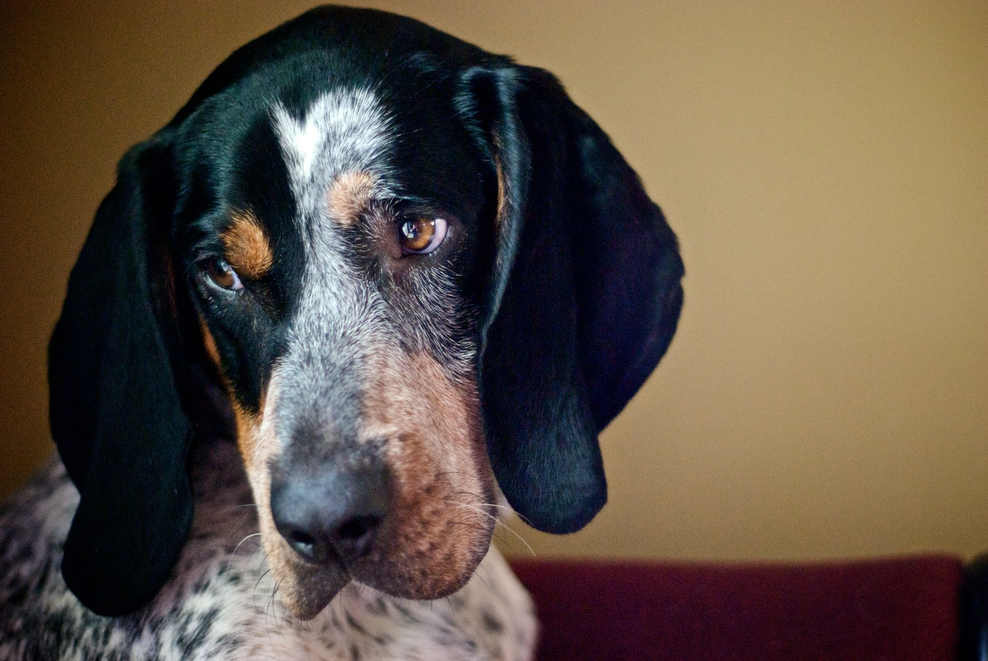Bluetick Coonhound Information Dog Breeds At Dogthelove