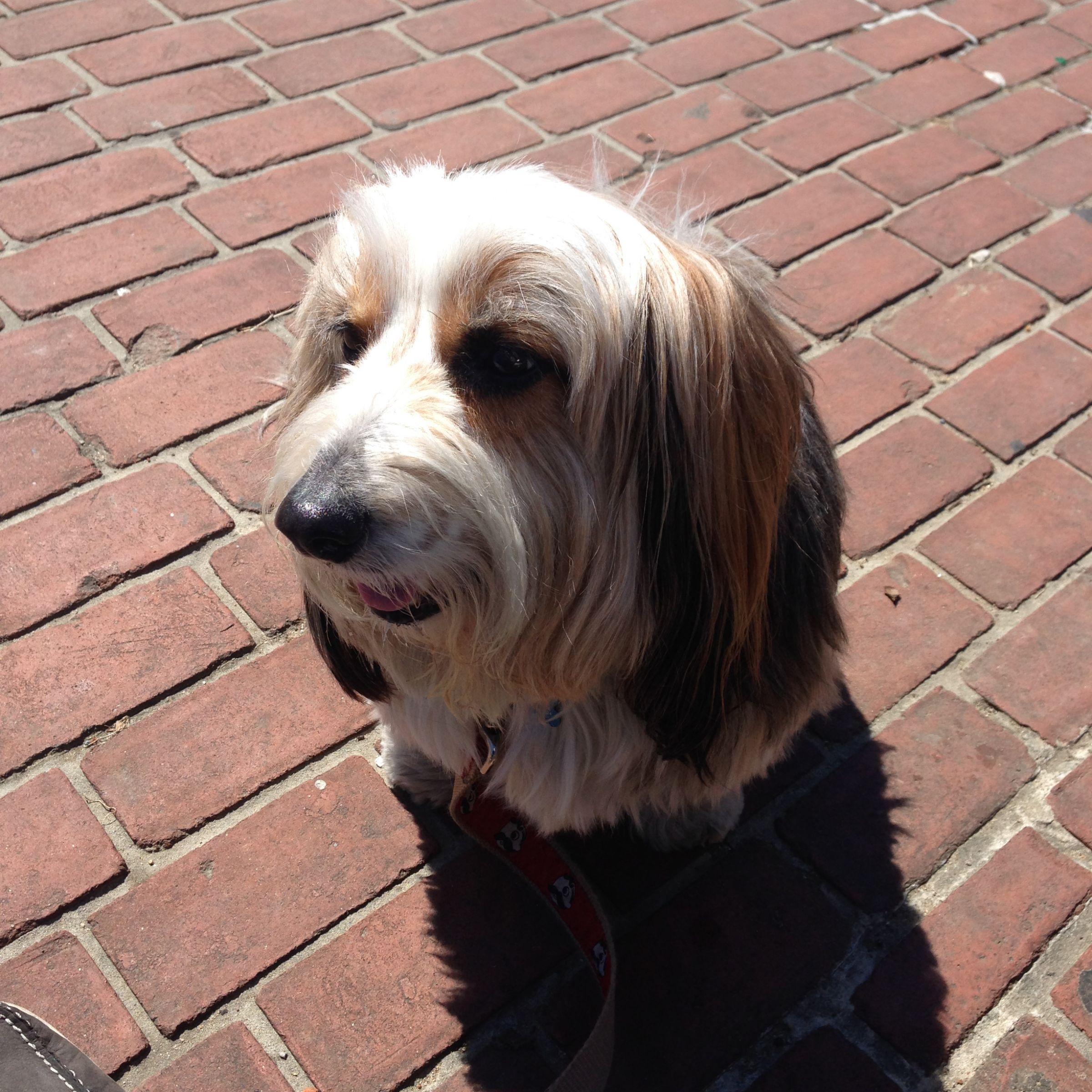 Petit basset griffon vendeen information dog breeds at dogthelove - Petit basset hound angers ...
