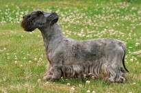 All Terrier Dog Breeds