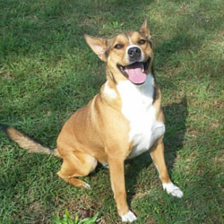 Adopt a dog:Max/Shepherd / Collie Mix/Male/2 years,