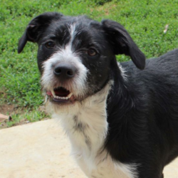 Buck/Terrier Mix/Male/Adult