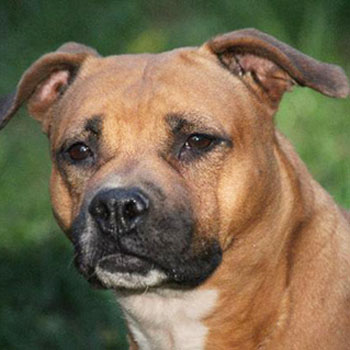 American Staffordshire Terrier/Female/Senior