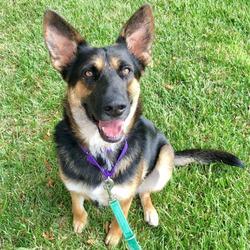Juno/German Shepherd Dog Mix/Female/Adult