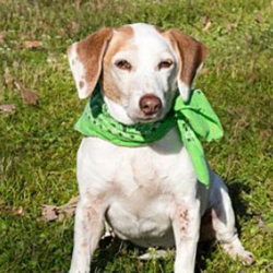 Avery/Jack Russell Terrier / Beagle Mix/Female/10 years