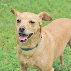 Adopt a dog:Bella/Terrier Mix/Female/Adult,