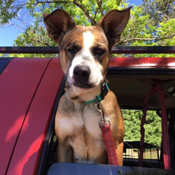 Adopt a dog:Macy/Boxer Mix/Female/Young,