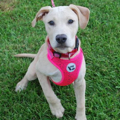 Lucy/Labrador Retriever Mix/Female/Puppy