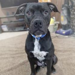 Axel/Pit Bull Terrier / Australian Cattle Dog / Blue Heeler Mix/Male/Adult
