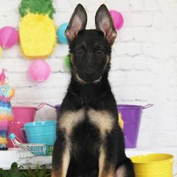 Jaide/German Shepherd/Female/13 Weeks