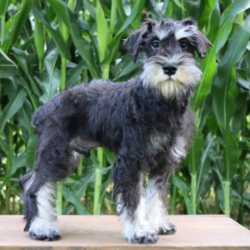 Garrison/Miniature Schnauzer/Male/18 Weeks