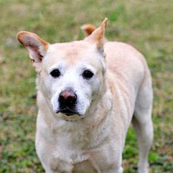 Ghost/Labrador Retriever Mix/Male/Senior