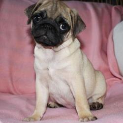 Zoey/Pug/Female/10 Weeks