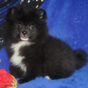 Chiko/Pomeranian/Male/13 Weeks