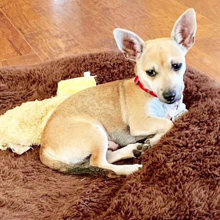 Rat Terrier Mix/Male/Young