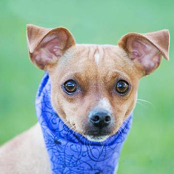 Pepito/Chihuahua Mix/Male/Adult