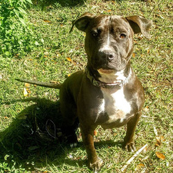 Adopt a dog:Hattie/Pit Bull Terrier Mix/Female/Adult,