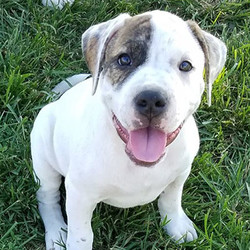 Kaylar/American Bulldog/Female/47 Weeks