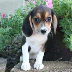 Cuddles/Beagle/Female/19 Weeks,Meet Cuddles! She is an adorable Beagle puppy with large eyes and cute floppy ears. This pup is being raised with children and is used to other animals too. Cuddles is not only up to date on vaccinations and dewormer, but she is also microchipped and comes with a 30-day health guarantee provided by the breeder. Don't miss out! Puppy kisses are waiting!