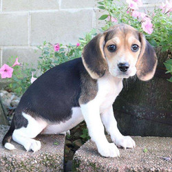 Cutie/Beagle/Female/19 Weeks,Cutie is an adorable Beagle puppy with large eyes and cute floppy ears. This pup is being raised with children and is used to other animals too. Cutie is not only up to date on vaccinations and dewormer, but she is also microchipped and comes with a 30-day health guarantee provided by the breeder. To meet this sweet little girl, contact the breeder today!