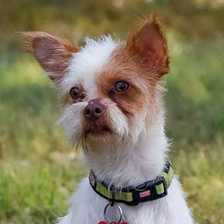 Ludo/Chihuahua / Cairn Terrier Mix/Male/Adult