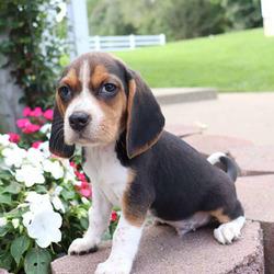 Mikey/Beagle/Male/13 Weeks