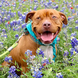 Monty/Terrier / Pit Bull Mix/Male/Adult