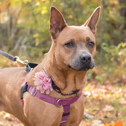 Polly/American Staffordshire Terrier / Chow Chow Mix/Female/4 years
