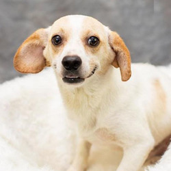 Adopt a dog:Hilton/Beagle / Chihuahua Mix/Male/Adult,