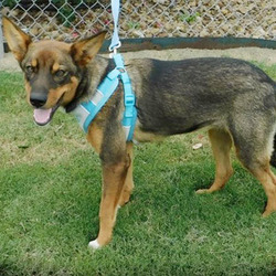 Adopt a dog:Sammie/Shepherd Mix/Female/Young,