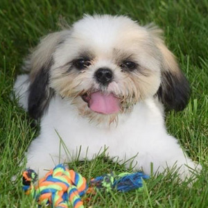 Ivan/Shih Tzu/Male/21 Weeks