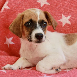Pirate/Jack Russell Terrier / Spaniel Mix/Male/Puppy