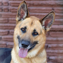 Winston von Winden/German Shepherd Dog/Male/Adult