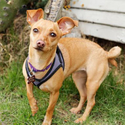 Adopt a dog:Spoons/Chihuahua / Dachshund Mix/Female/Young,