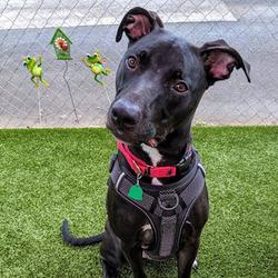 Adopt a dog:Ben/Black Labrador Retriever / American Staffordshire Terrier Mix/Male/Young,
