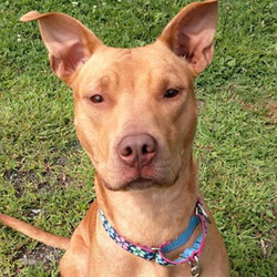 Amber/ Pit Bull Terrier Mix /Female/Adult
