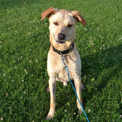 Bobby/Labrador Retriever / Shepherd Mix/Male/Adult