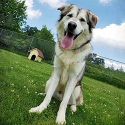 Adopt a dog:Dakota/Husky / Great Pyrenees Mix/Male/Adult ,