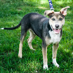 Adopt a dog:Bennett/Shepherd Mix /Male/Adult ,