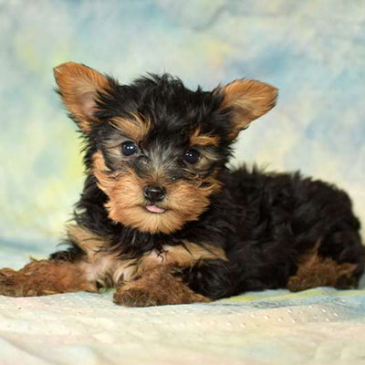 Nash/Yorkshire Terrier/Male/14 Weeks,Nash is a cute, friendly Yorkshire Terrier puppy who is being family raised and is well socialized. He can be registered with the ACA, is up to date on vaccinations and dewormer plus the breeder provides a health guarantee. To meet Nash, call the breeder today!
