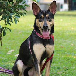 Adopt a dog:Melinda/ Shepherd / Terrier Mix /Female/Adult,