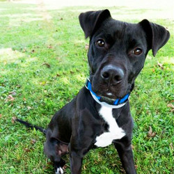 Adopt a dog:Issac/ Labrador Retriever Mix/Male/Young,Playful, sweet, and fun-loving are a few ways to describe Issac. He is only around a year old and loves playing with toys. He enjoys going for walks and car rides. He is looking for a family to love and grow with and of course play with!Come meet and adopt this fun boy and your 2019 is bound to overflow with happiness-plus! Issac can't wait to meet you!